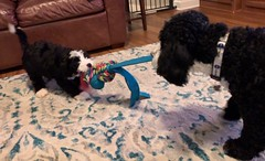 Toffee's Buddy and Minnie enjoying a game of tug!