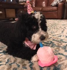 Toffee's Minnie celebrating her birthday!