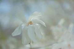 Magnolias (Patrice StG) Tags: magnolia pentaxm50mm14 fleur flower printemps spring vintage vintagelens bokeh a7ii sony gimp