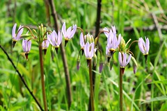 midland shooting star (Dodecatheon meadia) blooming at Hayden Prairie State Preserve IA 653A2500 (naturalist@winneshiekwild.com) Tags: midland shooting star dodecatheon meadia blooming hayden prairie state preserve howard county iowa larry reis