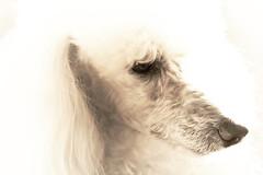 Charlie: The Dog Portrait (Bohumil Boudník) Tags: canon eos 550d portrait dog key white animal