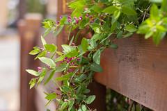 Fence decor (Karon Elliott Edleson) Tags: fence niftyfifty 50mm spring springtime flowers closeup shrubs canon