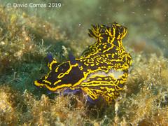 Tenerife Sur - Los Chuchos (CATDvd) Tags: canonpowershots120 underwaterphotography fotosub spain islascanarias illescanàries canaryislands españa espanya tenerife february2019 catdvd davidcomas httpwwwdavidcomasnet httpwwwflickrcomphotoscatdvd loschuchos nudibranch nudibranqui nudibranquio seaslug felimarepicta felimare fins