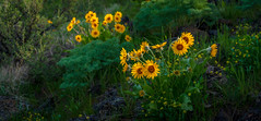 balsamroot (dwolters2) Tags: flower spring yakimacounty flowers snowmountianranch cowiche washington balsamroot