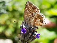 MONDAYS WITH FLOWERS AND A BUG (Pedro Muñoz Sánchez) Tags: mariposa butterfly macro macrofotografia flor lavanda colors nature