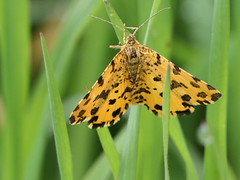 Pseudopanthera macularia (Paolo Bertini) Tags: pseudopanthera macularia falena moth geometridae verona boscomantico