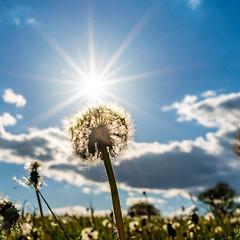 Pusteblume- Dandelion (uschmidt2283) Tags: christes frühling jahreszeiten licht sonne wiese wolken a7riii