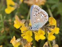 Adone blu (polyommatus bellargus) (Paolo Bertini) Tags: adone blu polyommatus bellargus tregnago verona farfalla butterfly