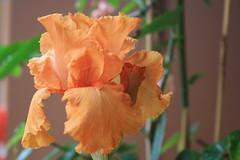IMG_6472  iris  - CUP DE SOLEIL (SPARTANO 2010 - summer is already here) Tags: iris soleil giglio maggio fiore petali flor privavera