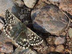 Esperia della malva (pyrgus malvae) (Paolo Bertini) Tags: esperia malva pyrgus malvae boscomantico verona farfalla butterfly