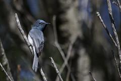 Leaden Flycatcher (chrisprohm) Tags: flycatcher leadenflycatcher australianbirds birdsofnsw birdsinbackyards