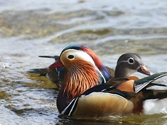 Mandarin Ducks (Jenny Thynne) Tags: duck bird mandarinduck hydepark london aixgalericulata england
