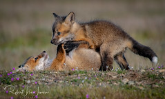 Going for the Pin (~ Bob ~) Tags: kits mother fox nikon foxkit amazing nature d500 foxy wildlife wildlifephotography nikond500 amazingnature feisol foxlove mammal kit tongue foxesofinstagram cute