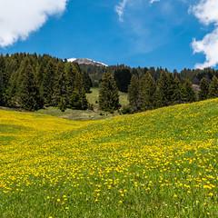Seewis (oonaolivia) Tags: seewis graubünden grisons schweiz switzerland landschaft landscape löwenzahn dandelion nature hiking walking frühling spring