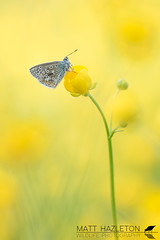 Common blue (Matt Hazleton) Tags: butterfly insect wildlife animal nature outdoor macro canon canoneos7dmk2 canon100mm eos 7dmk2 100400mm matthazleton matthazphoto summerleys northamptonshire bcnwildlifetrust commonblue polyommatusicarus
