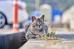 A7R3__DSC3865_C1 (Bazoka+Cynthia) Tags: cat 南城市 奧武島 小婆 日本 沖縄県 貓