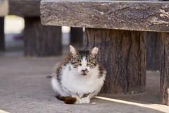 A7R3__DSC3852_C1 (Bazoka+Cynthia) Tags: cat 南城市 奧武島 小婆 日本 沖縄県 貓