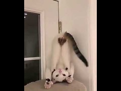 Cat Do Yoga - Funny Cat Doing Yoga (tipiboogor1984) Tags: aww cute cat funny dog youtube