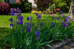 Bearded Irises by the curb.... (ineedathis, Everyday I get up, it's a great day!) Tags: beardediris japanesedwarfmaple sycamore trees lawn azaleas flowers garden nature weepingatlascedar ornamentaltree spreadingyew nikond750 iris