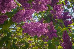 Beautiful purple flowers ! DSC_3181 (andrey.salikov) Tags: 180550mmf3556 magnifique maijs nikond60 atmosphere atrevida balticlights beautiful buenisima city colour colourful colourfulplaces dreamscene dārzs europe fantastic fantasticcolors fantasticplaces foto free garden goodatmosphere gorgeous harmonyday2018 harmonyvision impressive latvia latvija lettland lettonia light lovely may mood moodshot nice niceday niceimage niceplace ottimo pavasaris peacefulmind photo places relaxart riga scenery sensual sensualstreet spring streetlight stunning superbshots tourism travel trip wonderful весна май отпуск сад туризм чудесно purple flowers