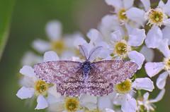 Võsavaksik; Ematurga atomaria; Common Heath ♂ (urmas ojango) Tags: lepidoptera liblikalised insecta putukad insects moth vaksiklased nationalmothweek geometridae võsavaksik ematurgaatomaria commonheath