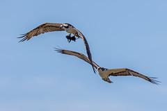 Hey! Come back with my lunch!! (Linda Martin Photography) Tags: bird circleb usa pandionhaliaetus wildlife osprey nature florida naturethroughthelens coth ngc coth5 npc