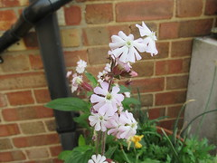 Wednesday, 22nd, White flowers IMG_8191 (tomylees) Tags: may 22nd wednesday 2019 garden essex morning flowers