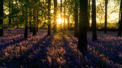 Evening bluebells (Dan_Fr) Tags: bluebell woods england uk sunset sunstar flower tree forest landscape nature goldenhour sony a7r primelens