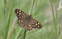 Speckled Wood (Pararge aegeria). (Bob Eade) Tags: butterflies butterfly sussex seaford southdownsnationalpark lepidoptera eastsussex speckledwood parargeaegeria nymphalidae