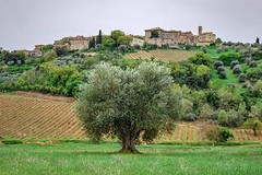 A heart shaped olive tree in the heart of Val d'Orcia, in front of the tiny village of Castelnuovo dell'Abate . . . #tuscanyplanet #traveltotuscany #visittuscany #tuscanlandscape #tuscanlife #tuscany #toscana #tuscanhills #tuscancountryside   @tonno_pollo (borghettob) Tags: tuscanyplanet tuscancountryside visittuscany tuscanhills toscana tuscany traveltotuscany tuscanlandscape tuscanlife