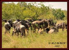 HERD OF BLUE WILDEBEESTS (Connochaetes taurinus).....MASAI MARA.....OCT 2017. (M Z Malik) Tags: nikon d3x 200400mm14afs kenya africa safari wildlife masaimara exoticafricanwildlife wildebeest ngc npc