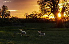 Only time (Wildlife & Nature Photography) Tags: sunset sun england cotswolds bibury sheep landscape time nature rural countryside landscapephotography animals meadow canon600d oxfordshire contemplation lambs light raysoflight