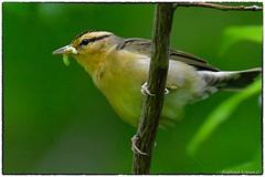Worm eating Warbler eating (RKop) Tags: shawneestatepark ohio raphaelkopanphotography d500 600mmf4evr 14xtciii nikon