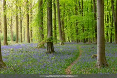 Bluebells in Micheldever Wood (Martin Dixon) Tags: 5d3 bluebells canon5dmarkiii canonef2470mmf28liiusm england flowers forest greatbritain hampshire landscape may meadow spring uk unitedkingdom woods winchester