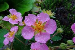 Pink strawberry (Steenjep) Tags: blomst flower macro makro closeup jordbær strawberry dråbe drop water vand rain regn