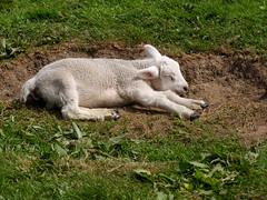Sleepy Hollow (Glass Horse 2017) Tags: littleayton farm agricultural domesticanimals fletchersfarm pettingfarm lamb dozing sleepyhollow
