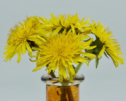 Superstition - Four Yellow Dandelions