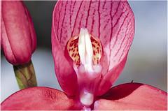 DSC_5887 rooi disa op Tafelberg (johann.spies) Tags: blomme disa makro red rooi flower