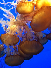 IMG_5346.jpg (Snoop Baggie Bag) Tags: california jellyfish montereyaquarium 2019 holiday monterey unitedstatesofamerica