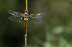 Rareté (Eric Penet) Tags: libellule odonate wildlife wild france faune nature nord animal sauvage avesnois insecte insect macro macrophotographie cordulie deux tâches eurasian baskettail dragonfly