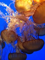 IMG_5347.jpg (Snoop Baggie Bag) Tags: california jellyfish montereyaquarium 2019 holiday monterey unitedstatesofamerica