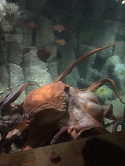 IMG_5318.jpg (Snoop Baggie Bag) Tags: california giantoctopus montereyaquarium 2019 holiday monterey pacificgrove unitedstatesofamerica