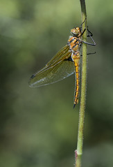 Rareté II (Eric Penet) Tags: libellule odonate wildlife wild france faune nature nord animal sauvage avesnois insecte insect macro macrophotographie cordulie deux tâches eurasian baskettail dragonfly
