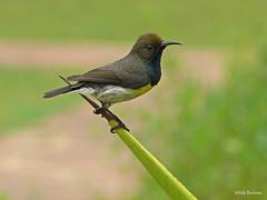 Newton's Sunbird Anabathmis newtonii (nik.borrow) Tags: bird sunbird saotome