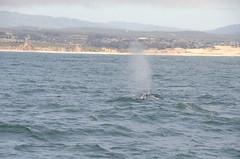 RJB_8444.jpg (Snoop Baggie Bag) Tags: california humpbackwhale whalewatching 2019 holiday monterey