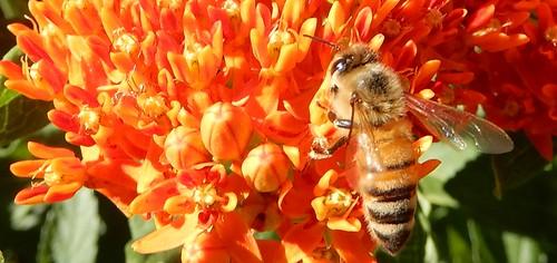 honeybee on Asclepias tuberosa 1