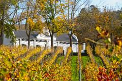 Autumn at de Morgenzon wine estate (Campingandhiking) Tags: autumn colors leaves vines capedutch trees wine farm vineyard