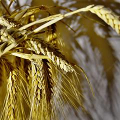 7 stalks of wheat bring happiness (Le.Patou) Tags: challenge macromondays superstition fz1000 blé or argent épi wheat grain gold money richesse ear wealth