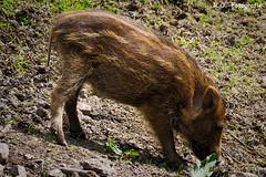 Wildschwein / wild boar (R.O. - Fotografie) Tags: wildschwein frischling wild boar rofotografie outdoor outside panasonic lumix dmcgx8 dmc gx8 gx 8 schwein pig animal tier