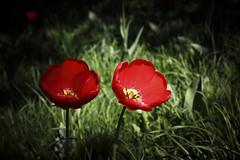 Tulipe IMG_0292 (Paul_Paradis) Tags: blossom fleur flora floral flower garden jardin plant plante nature natural summer ete tulipe brillant canada quebec iledorleans